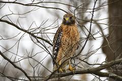 Red-shouldered Hawk (jt893x) Tags: 150600mm bird d500 hawk jt893x nikon nikond500 raptor redshoulderedhawk sigma sigma150600mmf563dgoshsms