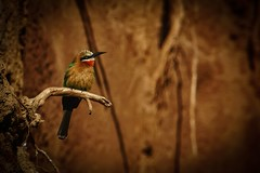 White-fronted bee-eater (tlillig) Tags: tamron18200mm a6000 alpha snapseed sandiego zoo whitefronted beeeater birds bird