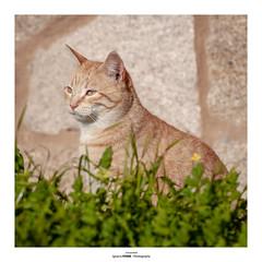 Cat portrait (Ignacio Ferre) Tags: cat gato gatocomún felidae felino felid felines feliscatus felids feline mascota pet mammal mamífero animal retrato portrait nikon