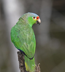 Red-lored Parrot (Digital Plume Hunter) Tags:
