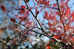Sorbus vilmorinii (basswulf) Tags: sorbus sorbusvilmorinii autumn red d40 50mmf18e lenstagged unmodified 32 image:ratio=32 camerasetting:aperture=f56 permissions:licence=c 20181111 201811 3008x2000 garden normcres oxford england uk