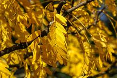 Total gelb (Friedhelm Dötsch) Tags: blümkes november gruga essen germany deutschland