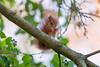 Hoernchen-2018-3382.jpg (Joachim Dobler) Tags: eichhörnchen eichhoernchen squirrel écureuil ardilla scoiattolo esquilo nature natur nagetier esquito wildlife animal cute naturephotography squirrellove wildlifephotography bestsquirrel nutsaboutsquirrels cuteanimals