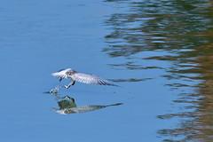 クロハラアジサシの漁 (myu-myu) Tags: nature bird wildbird whiskeredtern chlidoniashybridus nikon d500 野鳥 クロハラアジサシ japan