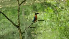 Eisvogel mit Beute (Oerliuschi) Tags: eisvogel natur teich ast nahaufnahme vögel birds alcedoatthis kingfisher