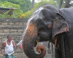 Elephant Shower (1X7A4623b) (Denish C) Tags: srilanka ceylon serendip kandy esala perahera elephant beauty mammal beast creature festival daladamaligawa templeofthetooth toothtemple wash bath shower chew sugarcane happy enjoy mahout