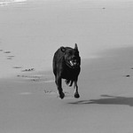 My dog sprints towards me at Haskell's Beach thumbnail