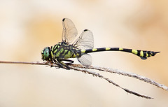 Australian Tiger Dragonfly 011 (DMT@YLOR) Tags: dragonfly australiantigerdragonfly queensland australia nerimagardens queenspark ipswich pond green yellow stripes nature wildlife insect food feeding eating