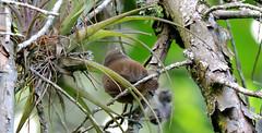 Unidentified Wren (asterisktom) Tags: tripnicaraguanorthward2018 2018 nicaragua december selvanegra matagalpa bird vogel ave 鸟 птица 鳥 pajaro unidentified wren