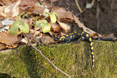 IMG_9734 (Selena & Danny) Tags: rodik roditti slovenia slovenija bosco foglie tree salamandra anfibio