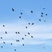 Vol de cormorans