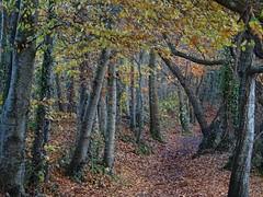 Beech and birch will soon be bare (Phil Gayton) Tags: scenery trail track path tree leaves foliage autumn fall riverside walk totnes devon uk