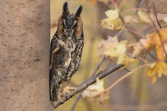 Long Eared Owl (aj4095) Tags: long eared owl nature wildlife tree bird outdoor fall ontario canada