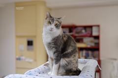 A7R3__DSC2156_DxO (Bazoka+Cynthia) Tags: pupu 小婆 新北市 樹林區 貓 cat