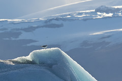 glacier gull (kalakeli) Tags: jökulsárlón vatnajökull island iceland september 2018 gulls möwen laruscanus commongull sturmmöwe glacier gletscher ice eis