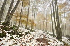 Snow in Autumn (Hector Prada) Tags: autumn otoño snow nieve fall leaves hojas golden dorado forest bosque fog niebla mist bruma tree árbol mood enchanted cold november noviembre navarra urbasa path camino