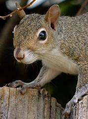 Face It (ACEZandEIGHTZ) Tags: sciurus carolinensis eastern grey squirrel nikon d3200 portrait closeup coth5 coth sunrays5