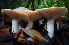 MUSHROOMS IN FAMILY . (CLITOCYBE NEBULARIS) (TOYOGRACOR) Tags: mushrooms setas mygearandme naturaleza hongos fungi fungus mywinners aplusphoto macro flickrdiamond bej canon explore flickr dof mygearandmepremium mygearandmebronze mygearandmesilver theoriginalgoldseal soe flickrs bosque godlovesyou fav50 fav100 seta otoño autumn macrofotografía clitocybe clitocybenebularis