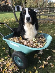 Off to the compost! (tracydonald) Tags: pet animal dog garden victoria sidney switzerland bernese morty swisskiss