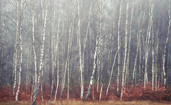 Silver Woods (Simon Verrall) Tags: silverbirch trees midhurst severals mist woods forest sussex november cold