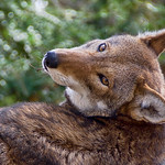 Red wolf (Canis rufus) thumbnail