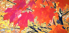 neon leaves (Marianne Kuzmen) Tags: leaf leaves autumn colorful magenta fall tree trees maple samsung branches fallcolor thebeautyoffall orange macro mapleleaves sunlight daylight outdoors naturephotography fallfoilage foilage red vintage samsunggalaxy samsungs9 neon shade sunandshadow paintingwithcolor impressionist mariannekuzmen yellow