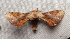 Silkworm moth, Epia vulnerata, Bombycidae (Ecuador Megadiverso) Tags: amazon andreaskay apatelodidae bombycidae ecuador epiavulnerata moth orkidealodge rainforest silkwormmoth tropic