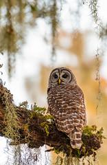 Barred Owl (agnish.dey) Tags: bird birding birdwatching bokeh birdsofprey owl barredowl portrait perched naturallight nature naturephotograph nikon d500 animalplanet coth florida