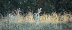 Two Does (andy_AHG) Tags: wildlife autumn stag fallowdeerbuck antlers ruttingseason animals nikond300s yorkshire