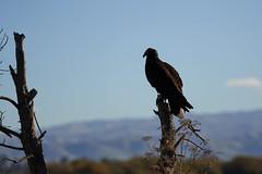 (Tony P Iwane) Tags: cathartesaura turkeyvulture vulture ebrpd ebrpdok coyotehillsregionalpark alamedacounty bird birds birding baynature silhouette