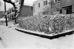 Rester groupé pour ne pas avoir froid ... (woltarise) Tags: rosemont quartier voisin jardin arbustes neige hiver maisons argentique film ilford hp5 olympus mjuii montréal