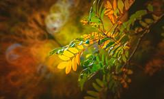 Autumn Series - 23 (Dhina A) Tags: sony a7r a7rii a7r2 bokeh mirrorlens minolta250mmf56 250mm autumn fall leaves