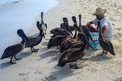 SAM_9679-1 (Mladenian) Tags: cuba varadero beach carribean pelicans barcelo solymar