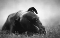 IMG011 (wolffriend333) Tags: nikkormat ilfordpanf hc110b opentopic blackandwhite film 35mm pitbull dog argo blackdog