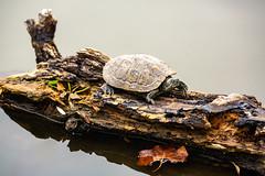 Turtle on a Log (Bryan Nabong) Tags: california edlevincountypark lake log milpitas northamerica northerncalifornia paintedturtle pond reptile springvalleypond turtle unitedstates water