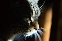 Portrait - Ziggy (Corinne Lejeune Girot) Tags: cat cute mignon