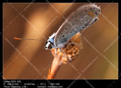 Butterfly (Polymmatus Icarus) (__Viledevil__) Tags: insect nature butterfly fly wings closeup moth icarus polyommatus insects bug flies macrobutterfly invertebrate butterflies nice lepidoptera macro colorful animal entomology lepidopteron biodiversity