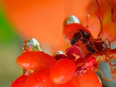 Red cactus (cami.carvalho) Tags: cactus cacto gotas raindrops reflexo reflections