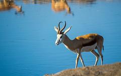 DSC00184 (philliphalper) Tags: namutoni etosha nimabia gazelle