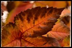Eres perfecta. (elena m.d.) Tags: new nikon d5600 sigma sigma105 autumn otoño colores hojas elena macromondays 7dwf street landscape