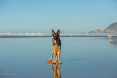 Marley at the Oregon coast (Dimitri_Stucolov) Tags: germanshepherd gsd oregoncoast oregon beach pacificocean sunnyday pnw cannonbeach happy