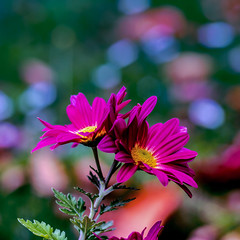 The last Chrysantheme (Of Light & Lenses) Tags: carlzeiss35100mmsonnar blume chrysantheme pflanze farben colors herbst autumn bokeh deutschland naturfoto sony carlzeiss vintagelens red rosa
