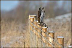 Kestrel (Full Moon Images) Tags: wildlife nature wicken fen burwell nt national trust reserve cambridgeshire bird birdofprey kestrel