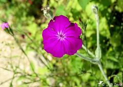 Coquelourde des jardins (Jean-Daniel David) Tags: nature fleur feuille tige vert violet mauve bokeh cheseauxnoreaz champpittet grandecariçaie yverdonlesbains suisse suisseromande vaud closeup grosplan macro silène coquelourde