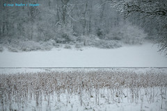 Searching for the Sound of Silence No 3 (Walt Snyder) Tags: canoneos5dmkiii canonef135mf20lusm snow snowfall milkweed milkweedstalks weeds field winter january whited f20
