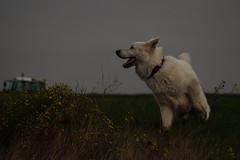 Spiel und Spaß (ISOZPHOTO) Tags: filou isozphoto isoz hund dog chien haustier pet olympus zuiko omd em10 40150 oly mzuiko dslm spiegellos mirrorless m43 micro43 microfourthirds weiserhund whitedog dogphotography hundefotografie whitegermanshepherd whiteshepherd weisserschäferhund schäferhund shepherd hond chiot cane perro mutt inu cão hundar sobaka witteherder swissshepherd schweizerschäferhund wgsd 2018 brillant composition オリンパス ズイコー zuikō gǒu karlos white