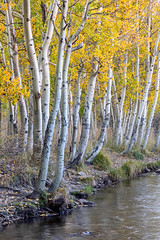 Creekside (Kirk Lougheed) Tags: bishopcreek california easternsierra inyocounty populustremuloides southfork usa unitedstates aspen autumn creek fall forest grove landscape outdoor river stream tree water yellow