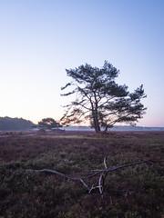 Bussumerheide 2018: Branch and tree (mdiepraam) Tags: bussumerheide 2018 bussum westerheide heath earlymorning dawn sunrise tree branch heather