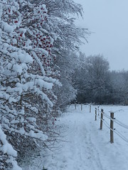 Fresh Snow Today (Marit Buelens) Tags: winter snow sneeuw belgium belgië naturereserve natuurreservaat gemeneweidebeek bush shrub struik berries bessen path pad assebroek sintkruis natuurgebied