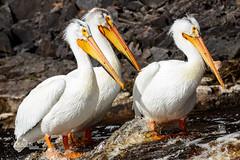 Fishin' Buddies II (Images by Beaulin) Tags: rapidriver wildlife birds pelecanuserythrorhynchos waterbirds clementson americanwhitepelican lakeofthewoodscounty minnesota